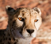 Gepard in der Abendsonne