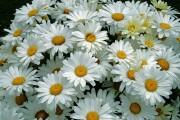 Blüten von blacky1