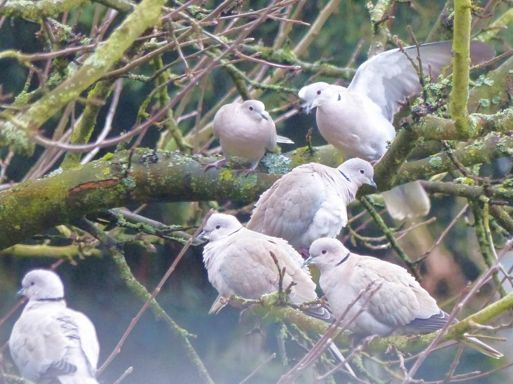 Versammlung der Türkentauben in unnserem Gartenbaum