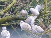 Versammlung der Türkentauben in unnserem Gartenbaum von blacky1