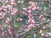 Pflaumen-Blüte am 10.04.2020