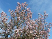 Magnolien-Blüten von blacky1