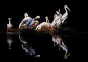 Versammlung der Pelikane