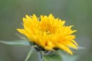 Geht auf ihr Blüten