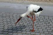 Henrys Storch juckts