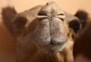 echtes Kamel in der Wüste VAE