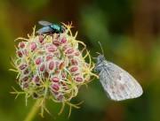 Falter und Fliege