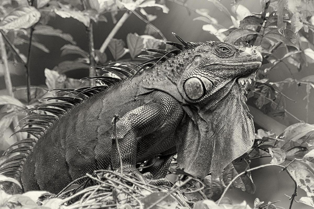 Grüner Leguan (Iguana Iguana) - Costa Rica