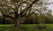 Dicke Oachn - Europas älteste Eiche